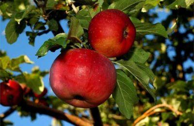 Яблоки красные на дереве