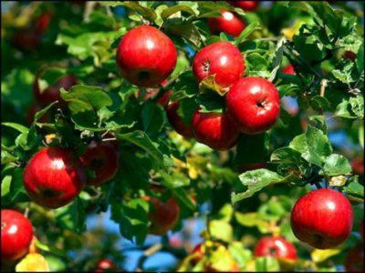 яблони в Подмосковье