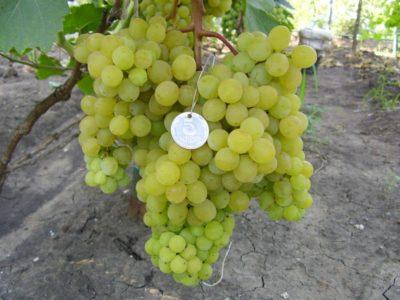 Виноград сорт Русбол