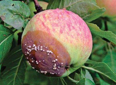 Гниль яблок на дереве