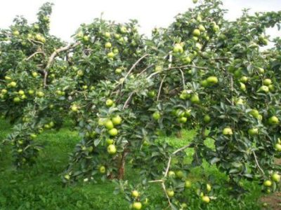 Дерево яблони Чудное