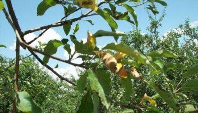 Хлороз яблони