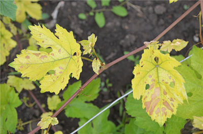 Чернение винограда