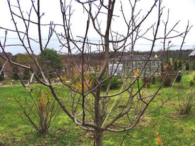 Яблоня без листьев