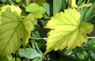 Пожелтевшие листья винограда