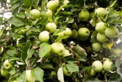 Яблоки Антоновки