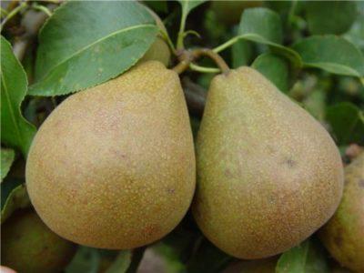 Белорусская поздняя груша
