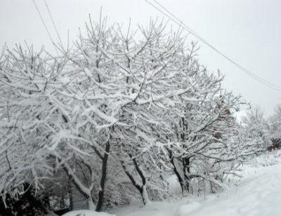 Деревья под снегом