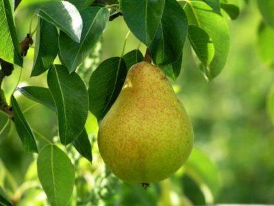 Груша Форель на дереве