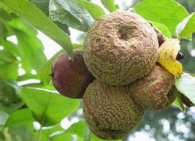 Плодовая гниль