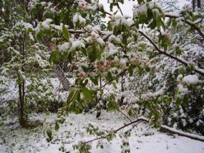 Яблоня под снегом