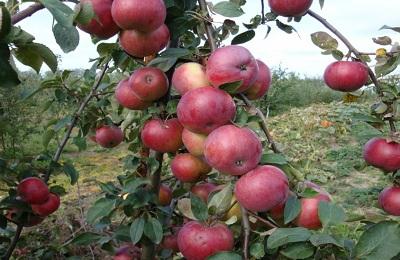яблоки сорта Имант на дереве