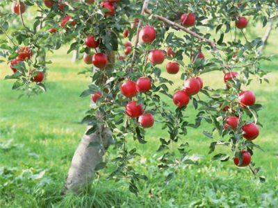 Яблоня лесная дикая