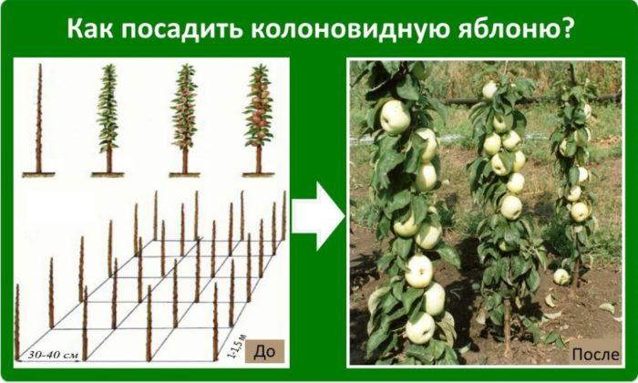 Посадка колоновидных яблонь