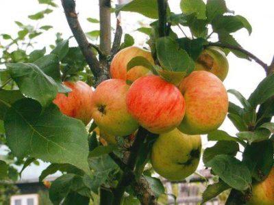 Яблоня Коричневое полосатое
