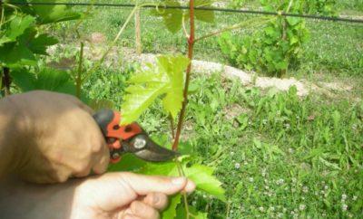 Обрезка листьев винограда