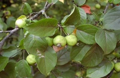 Лесная яблоня