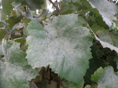 Налет на листе винограда