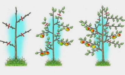 регулировка роста кроны яблони