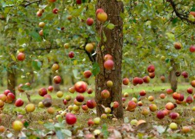 раннее опадение яблок