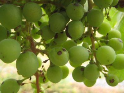 Виноградная оспа
