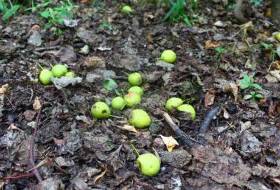 Плоды дикой груши