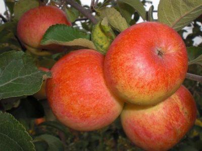 Яблоки сорта Солнышко