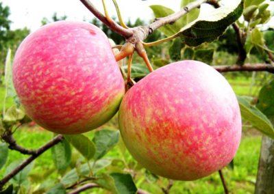 Яблоки розовые