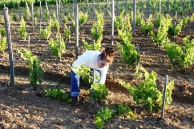 Осмотр винограда