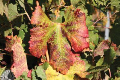 Красные листья винограда