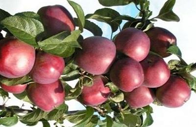 Вид плодов Имант: фото