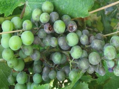 Зеленый виноград с треснувшими ягодами