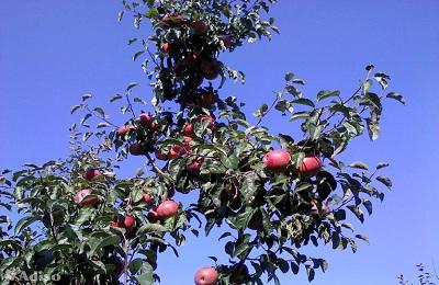 Фото плоды яблони Имант