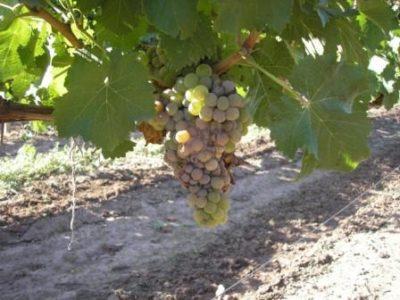 Серая гниль на винограде