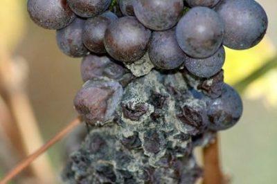 Поражение кисти винограда