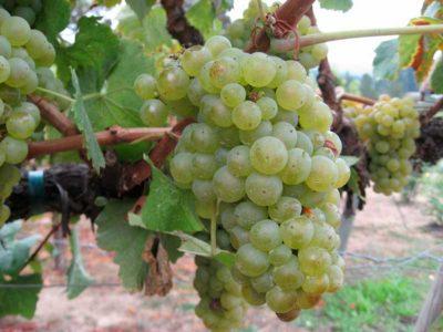 Виноград на ветке