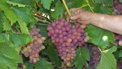 Виноград в руке