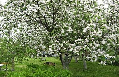 Как цветет яблоня сорта Имант: фото