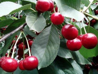 Листья и плоды вишни