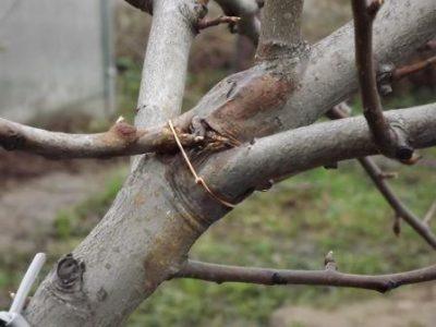 Закрепленная ветка яблони