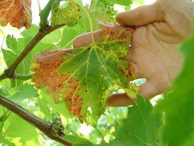 Сохнет лист винограда
