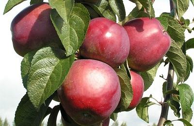 фото яблоня Имант