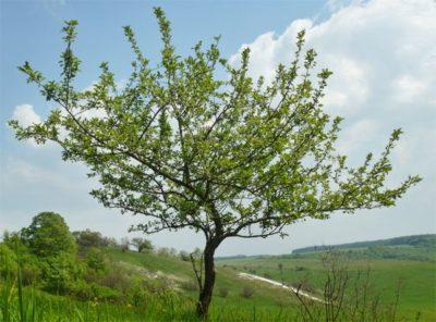 Яблоня на возвышенности