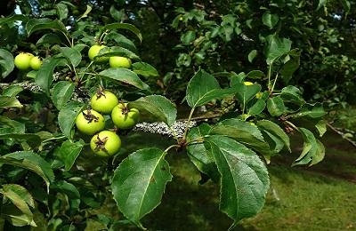 Яблоневый лист