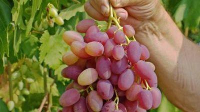 Гроздь винограда в руке