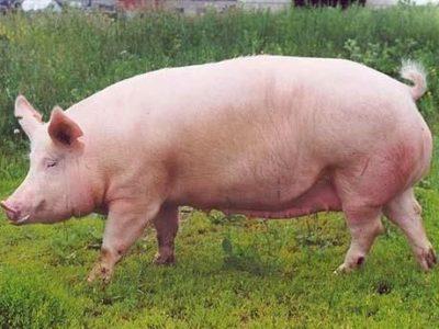 Свинья мясного типа