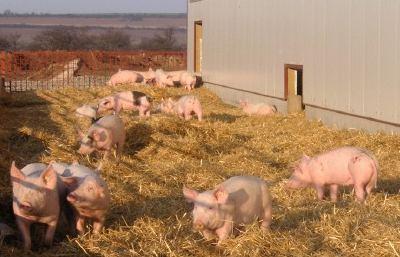 Пастбищный способ содержания свиней
