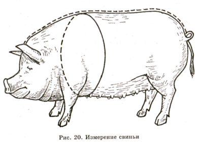 Замер свиньи