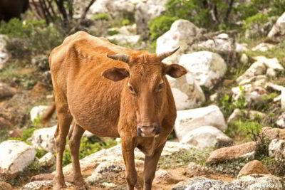 Недостаточный вес коровы