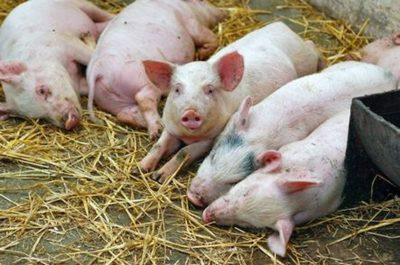 Болезни у свиней